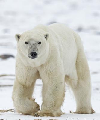 Polar_Bear_CH_3