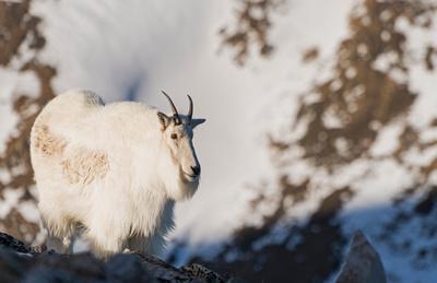 Mountain_Goat_45