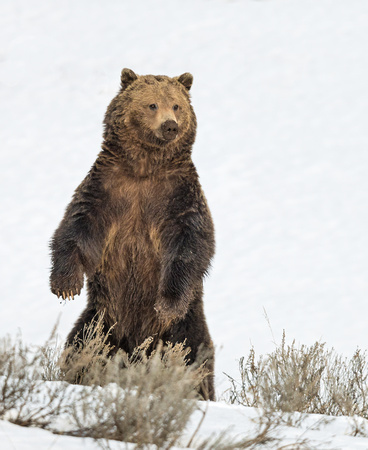 Grizzly_bear_3