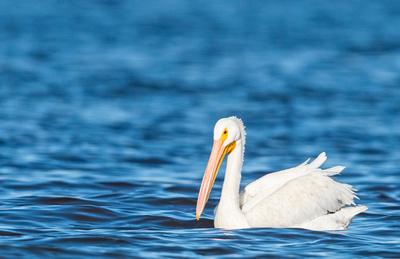 American_white_pelican_Salton_Sea_2015_1