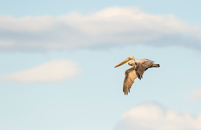 Brown_pelican_Salton_Sea_2015_2