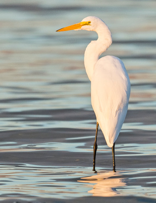 Great_egret_Salton_Sea_2015_1