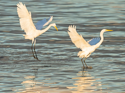 Great_egret_Salton_Sea_2015_2