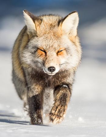 Red_cross_fox_GTNP_2016_6