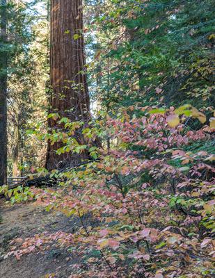 Sequoia_and_Dogwood
