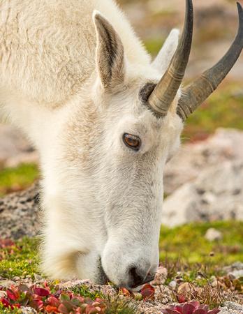 Mountain_goat_Mt_Evans_2015_8