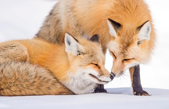Red_Fox_GTNP-2016_5