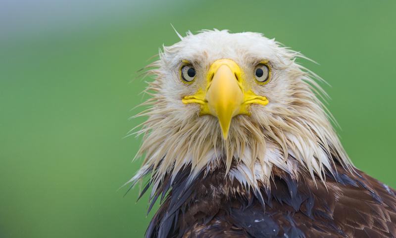 Bald_Eagle_DH_1
