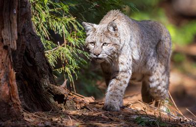 Bobcat_Yosemite_2016_6