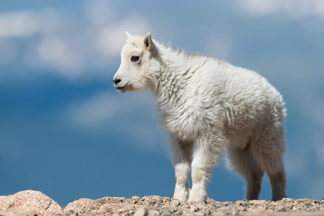 Mountain_goat_15