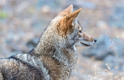 Coyote_Yosemite_2015_2