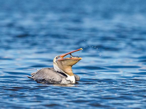 Brown_pelican_Salton_Sea_2015_4