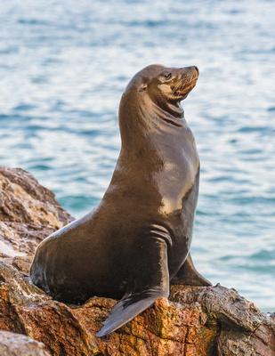 California_Sea_Lion_Malibu_2015_11