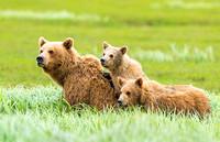 Brown_bear_McNeil_2015_23