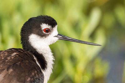Black-necked_stilt_Grand_Isle_2016_1