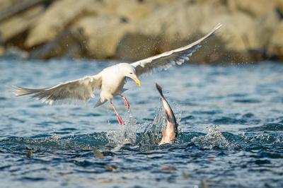 Salmon_Gull_Sea_Lion_Valdez_2016_1