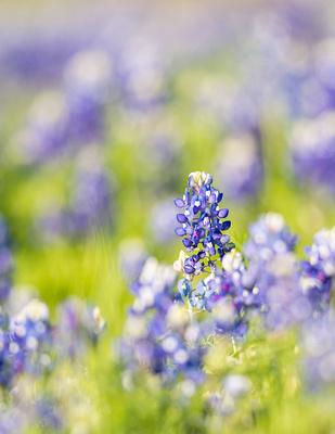 Bluebonnets_Texas_2016_1