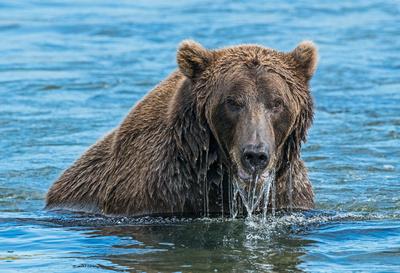 Brown_Bear_HB_11
