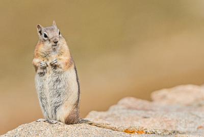 Golden-mantled_Ground_Squirrel_1
