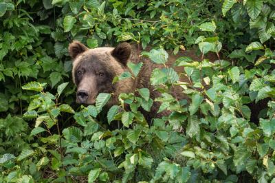 Brown_Bear_Valdez_2016_7