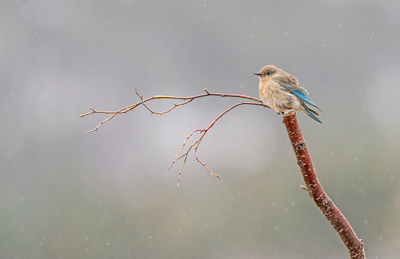 Mountain_bluebird_RMNP_2017_4