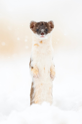 Long-tailed_weasel_ANWR_2021_1
