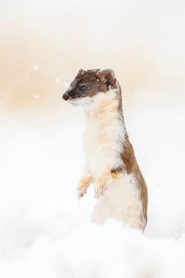 Long-tailed_weasel_ANWR_2021_3