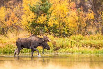 Moose_RMNP_2017_4