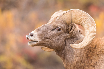 Bighorn_sheep_Waterton_2017_5