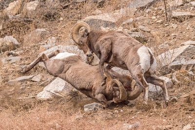 Bighorn_sheep_Georgetown_2017_3