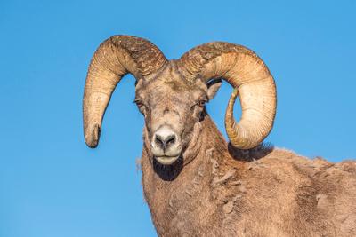 Bighorn_sheep_ram_RMNP_2018_1