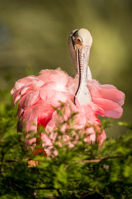 Roseate_spoonbill_AlligatorFarm_2019_3