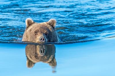 B-Brown_bear_LCNP_2018_15