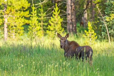 Moose_RMNP_2019_9