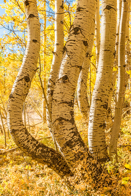 Aspens_curved_Ophir_2019_1