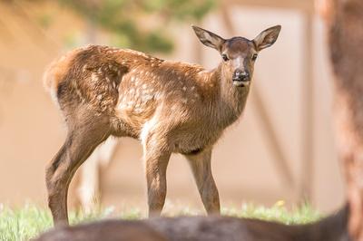 Elk_calf_EP_2019_11