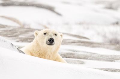 Polar_bear_Churchill_2013_2