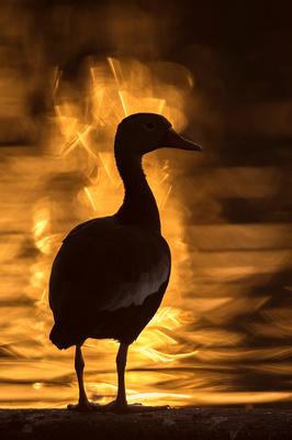 Black-bellied_whistling_duck_Lafreniere_Park_2020_1