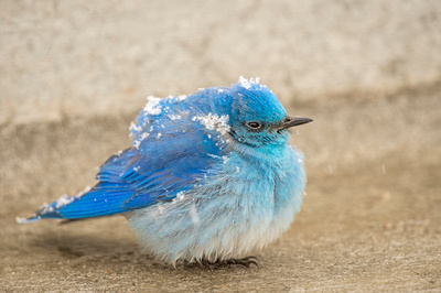 Mountain_bluebird_EP_2020_4