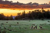Elk_at_sunrise_RMNP_2020_1
