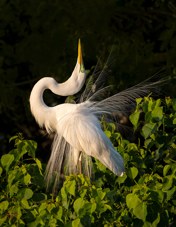 A5-Great_egret_Smith_Oaks_2016_1