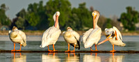American_white_pelican_Windsor_2015_1_pano