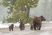 Grizzly_bear_GTNP_2020_17