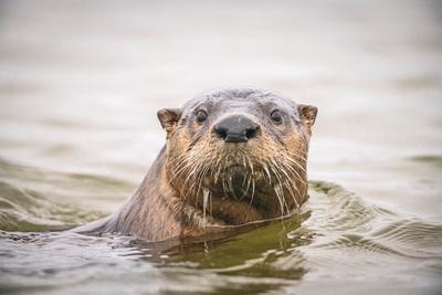 River_otter_EI_2021_1