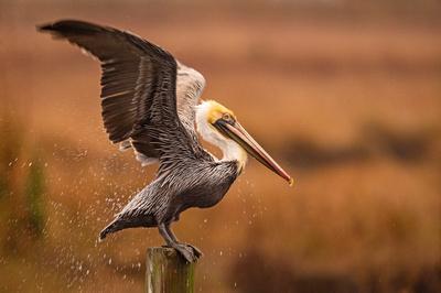 Brown_pelican_Eden_2020_3