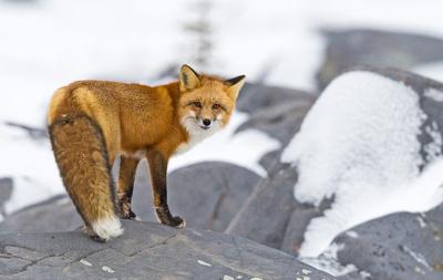 Red_Fox_CH_1