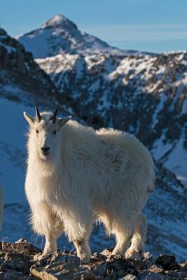 Mountain_Goat_44