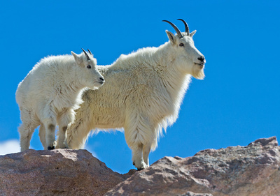 Mountain_Goat_13