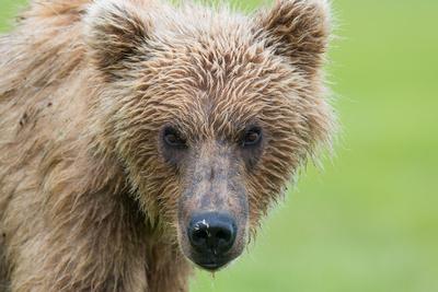 Brown_Bear_HB_28