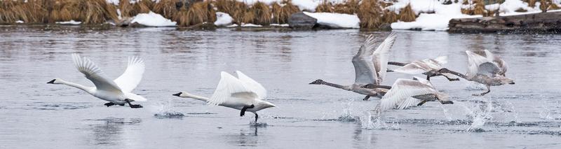 Trumpeter_Swan_IP_1